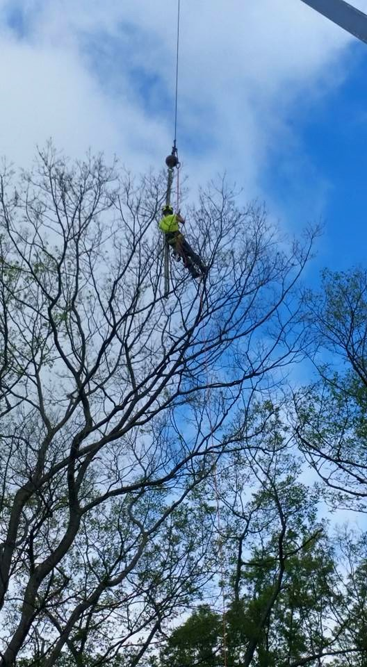 Man trimming branches in a tall tree