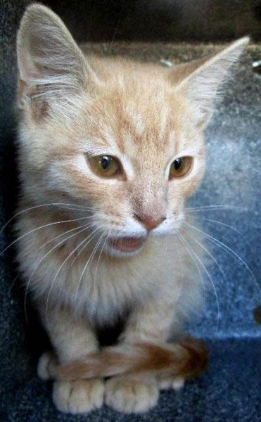 Catapult, an adoptable cat, is waiting at the Cache Humane Society, Logan, Utah, for his forever family.