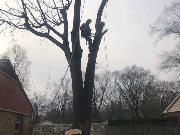 allied tree service tree climbing tree trimming