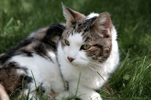 Veterinary hospital for cats and dogs and other pets - A Pet Clinic of Kent - Kent, Washington - cat in the grass