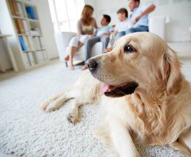 Eco Friendly Carpet Cleaning is Safe for Pets