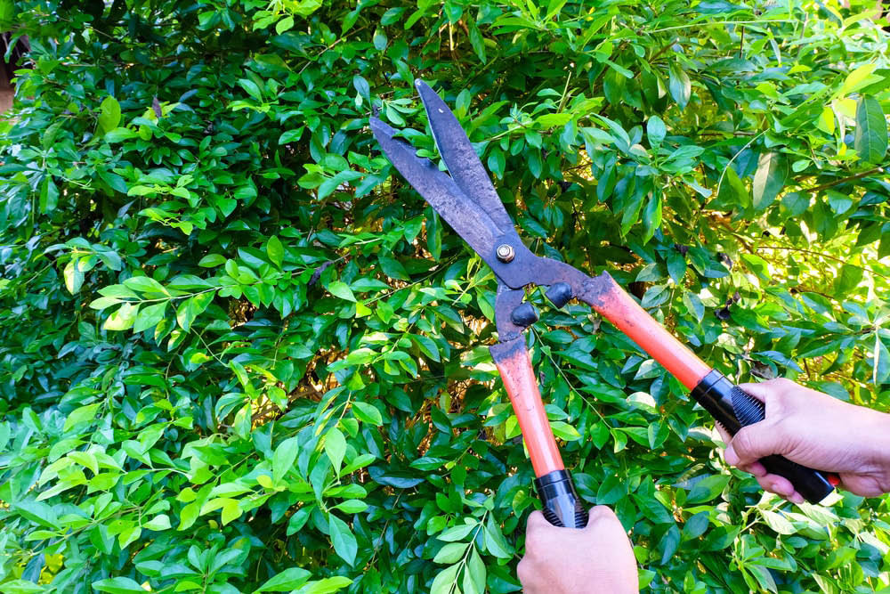 Tree trimming - view restoration - tree pruning - Absolute Arbor tree care professionals in Kirkland, WA - tree service coupons near me
