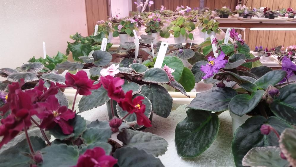 african violets, violets & more