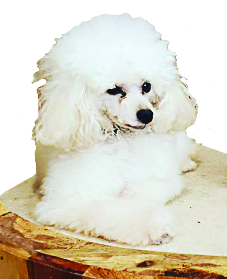 White poodle at All Pet Groomery