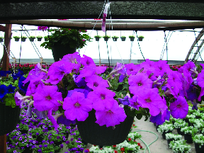 Wave Petunia, Calibrachea, New Guinea Impatiens and more available at Bella Flowers