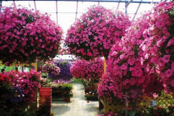 Lots of hanging baskets in a greenhouse in Caledonia