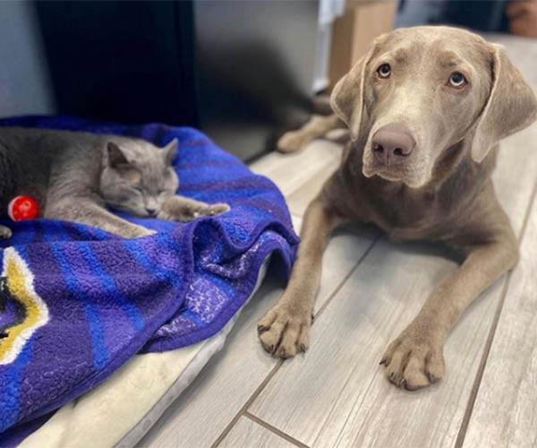 grey cat and brown dog