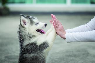 happy siberian husky puppy