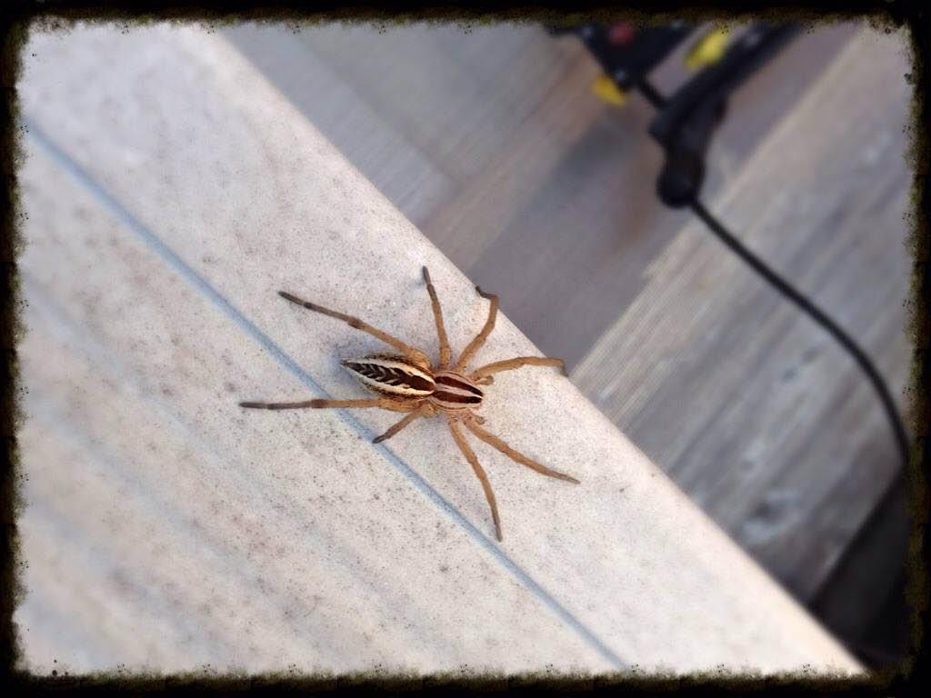 wolf spider classic pest control in azle, tx
