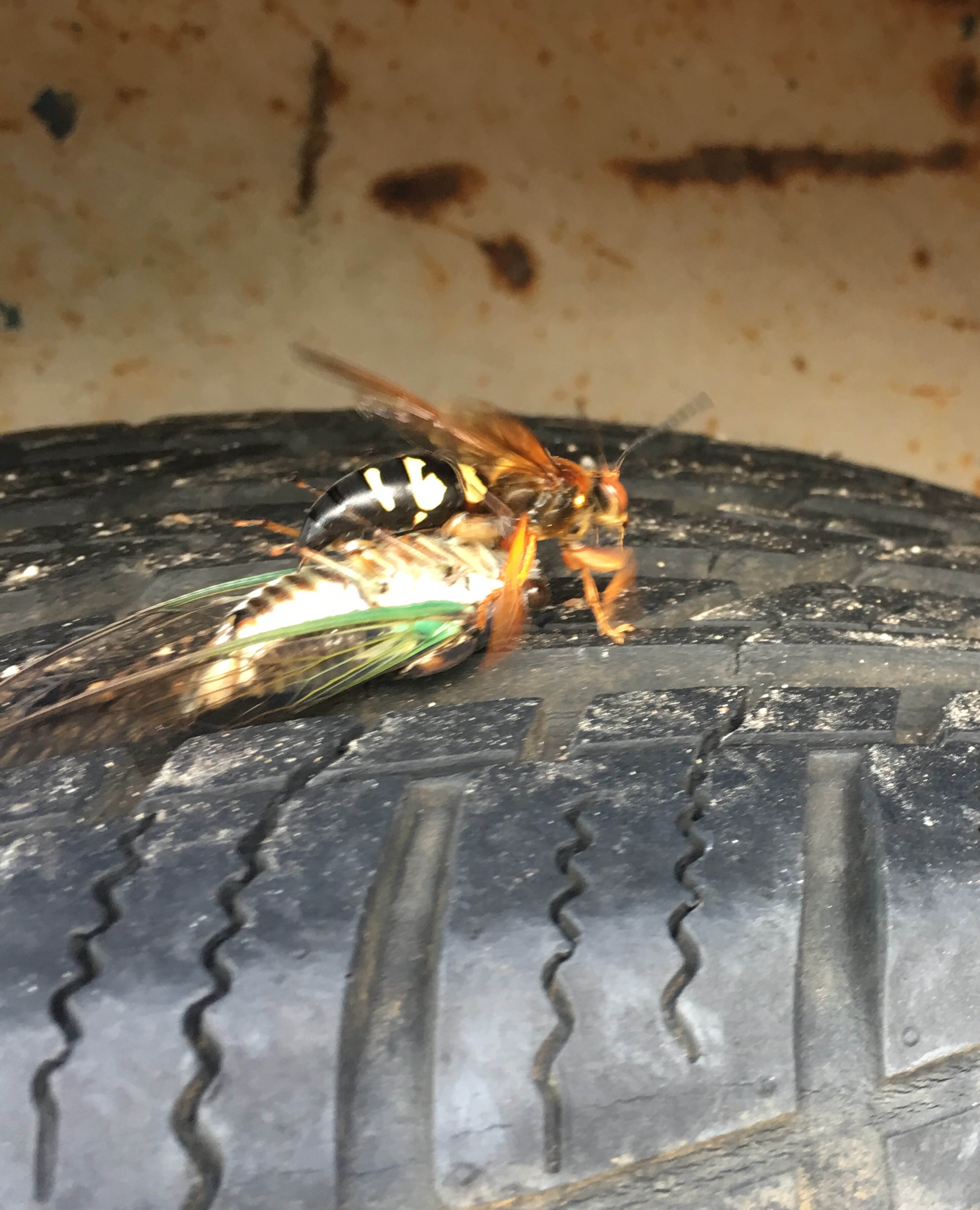 wasp classic pest control in azle, tx