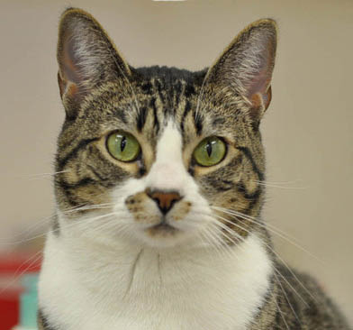 Cat at Canyon View Cares Veterinary Hospital in Layton, Perry, and Tremonton, Utah