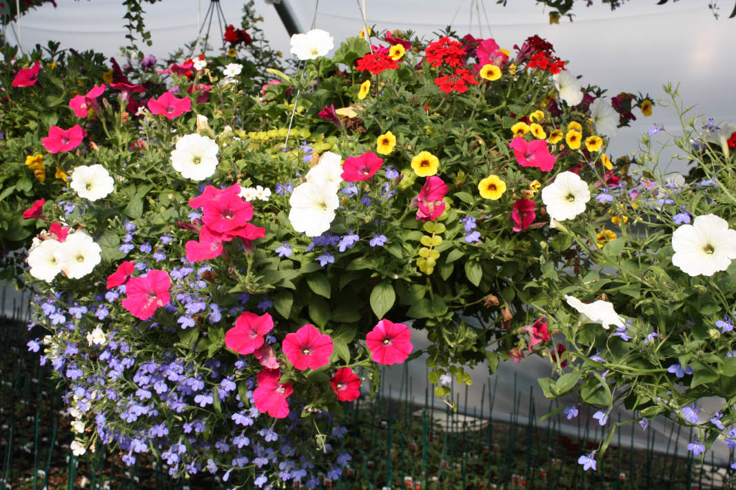 Large assortment of floral hanging baskets to choose from.