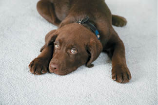 Puppy on clean carpet