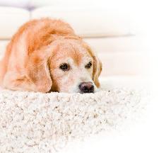golden lab on clean carpet