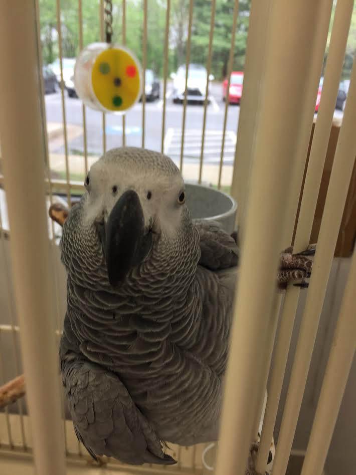 negolas animal care bird african grey