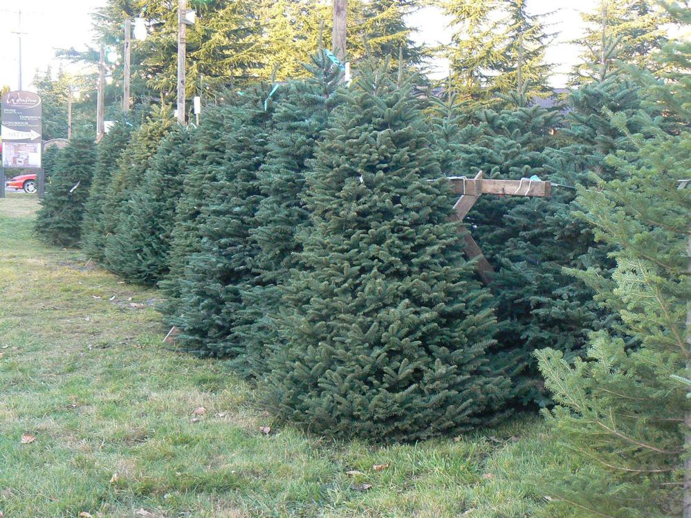 Donna's Trees Christmas tree lot in Bothell, Washington