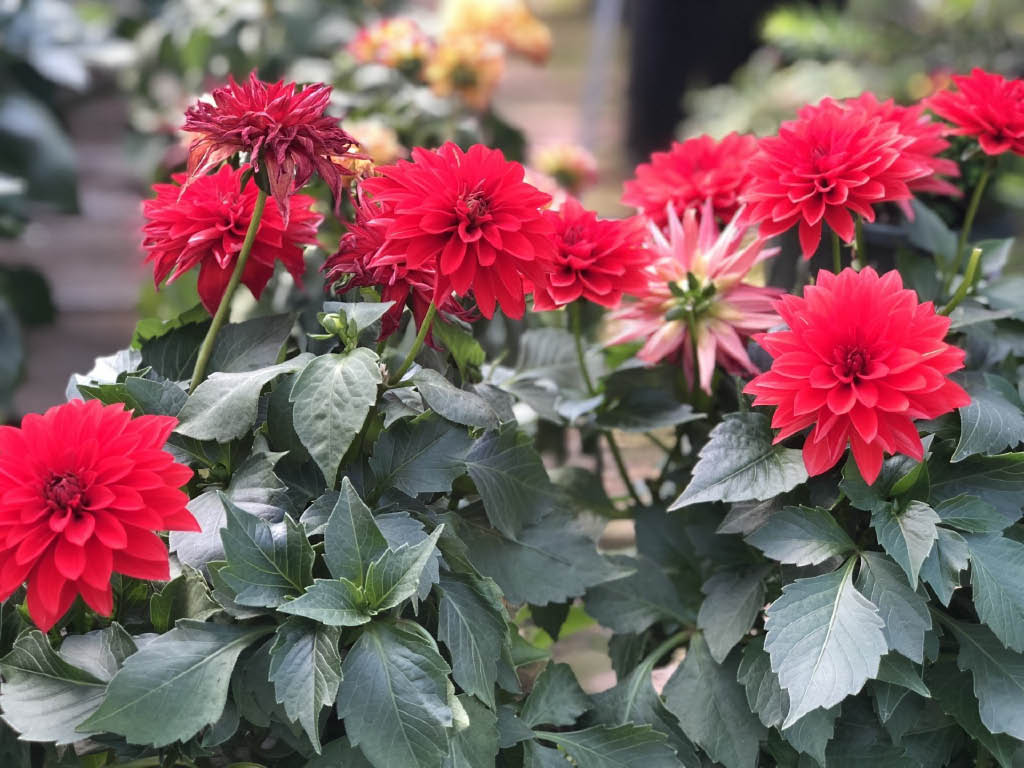 Get ready for fall color at Edgewood Garden & Nursery in Edgewood, WA - potted plants - annual - perennials - trees - shrubs - herbs - potting soil - compost - gardening centers near me