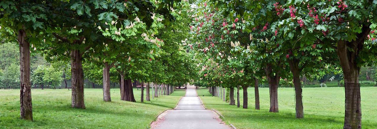 Perfectly trimmed, leafy-green shade trees lining pathway banner