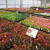 Highest quality flowers from the most reputable and often local wholesalers, wide variety, flowerbeds, colorful flowers, perennials ,annuals, flower planting tips, plant guarantee