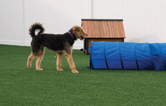 Terrier at dog show obstacle course outside blue tunnel