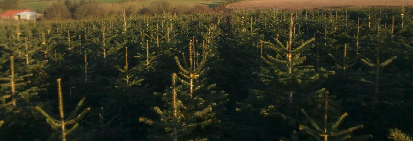 Fresh Cut Christmas Trees in Northern CA banner