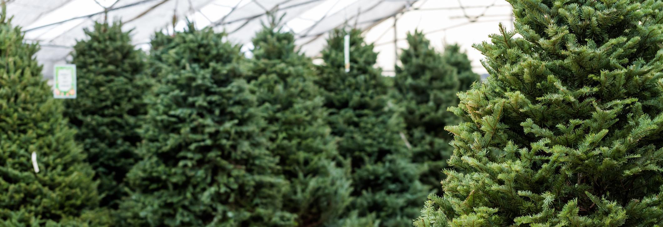 joe's pines ohio's largest selection of christmas trees dayton ohio