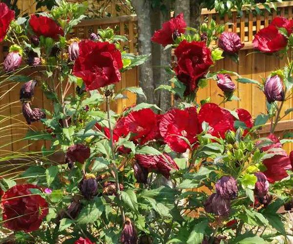 Hibiscus Gardening - Sonoma County