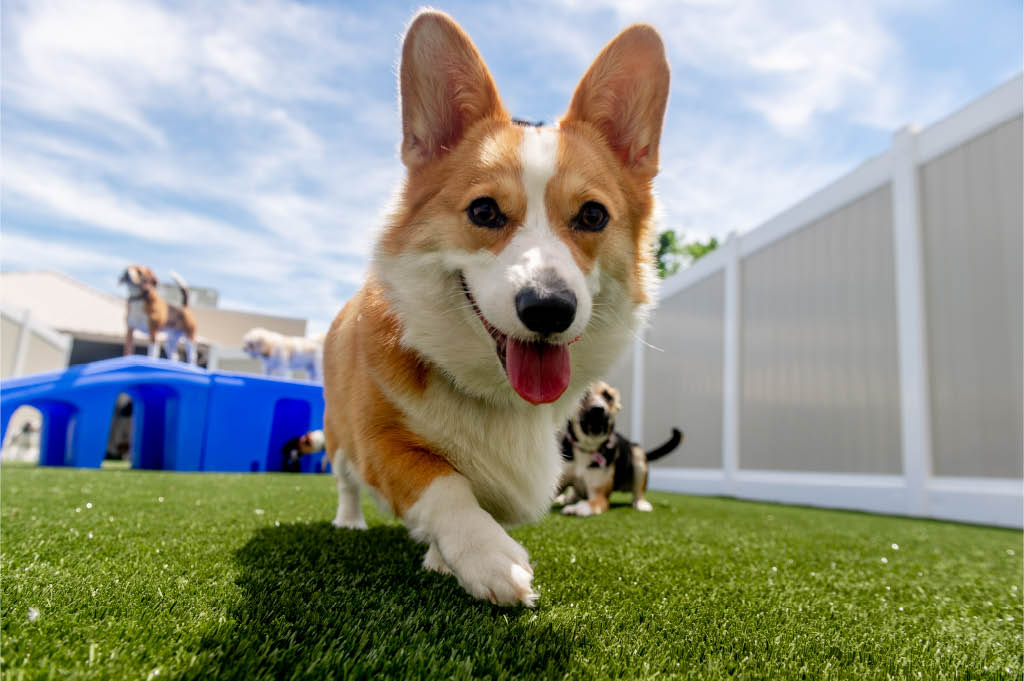 corgi at k9 resorts malvern