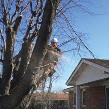 Removal of dormant trees by the experts at Liscombe in St. Charles