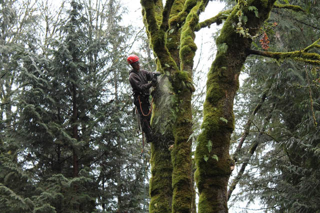 Matt's Tree Service - climber in tree - professional tree service - Issaquah, WA