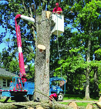 Meca tree trimmer in bucket lift cutting down tree.