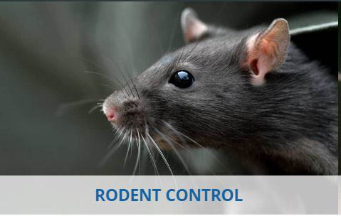 Mice, rats, rodent