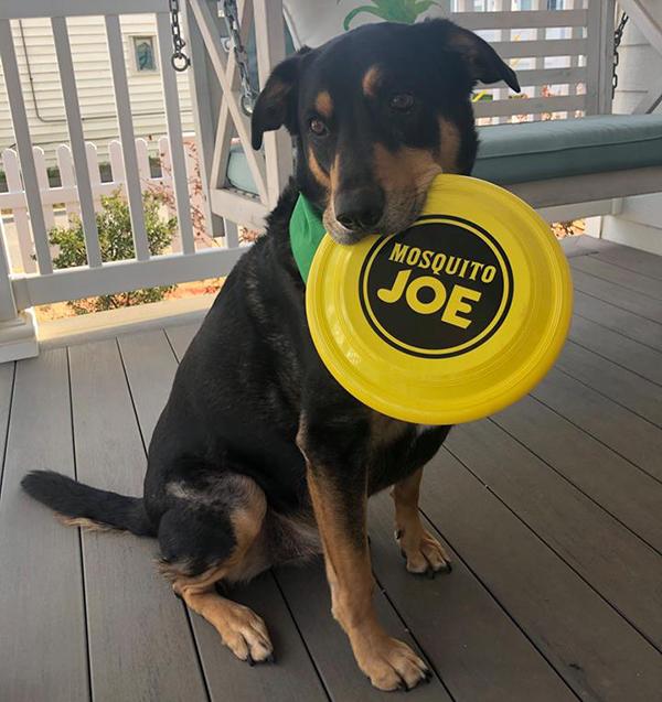 dog without fleas holding Mosquito Joe frisbee