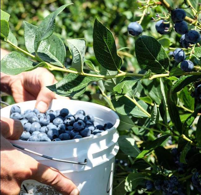 Mountainview Blueberry Farm - Snohomish, WA - u-pick blueberry picking