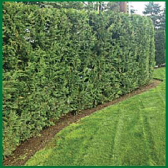 Mr. Ho's Gardening & Landscaping - hedge trimming - hedge pruning - tree trimming - Des Moines, WA