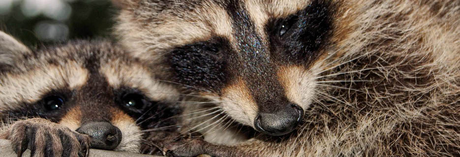 Call Mr. Raccoon in Novato, CA for Wildlife Control banner