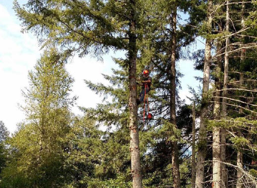 Professional tree removal - hazard tree removal - Olympia tree service - BK Tree Service LLC - Olympia Washington