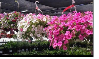 Hanging plants available at Ort Farms in Long Valley NJ