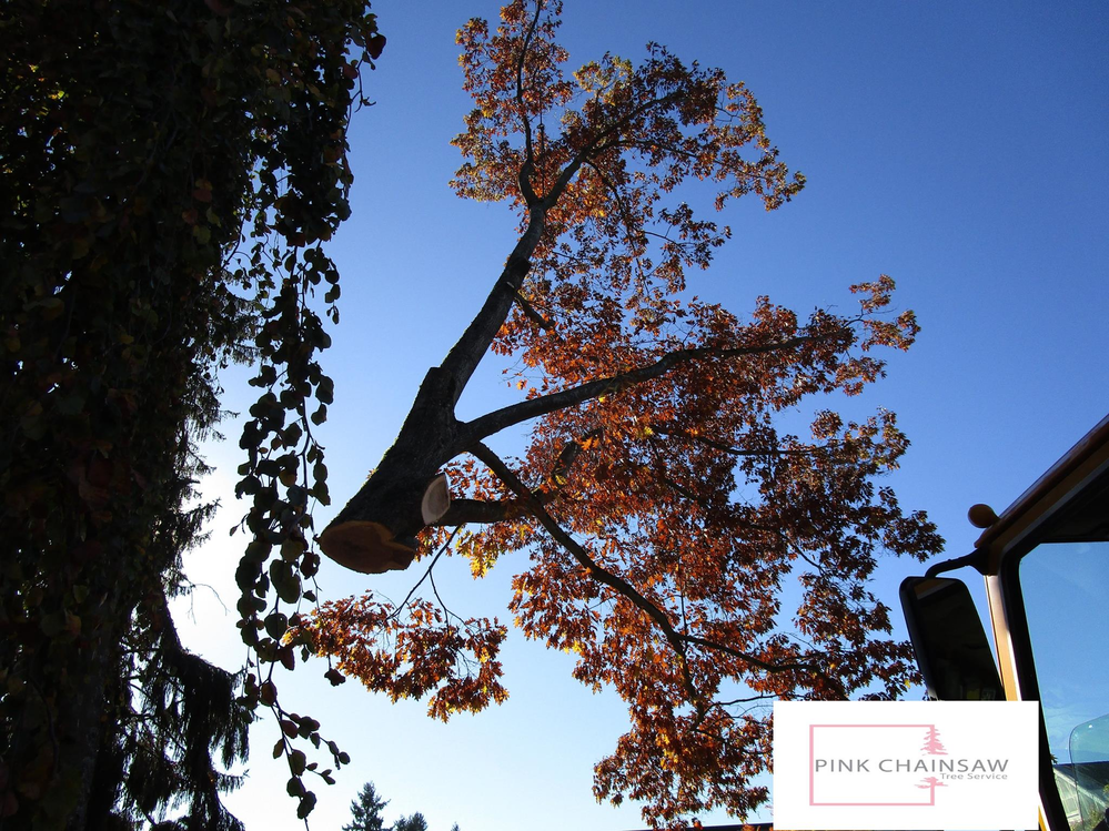 P.I.N.K. Chainsaw Tree Service - cutting down a tree - tree pruning - Pink Chainsaw Tree Service - Snohomish County tree removal services