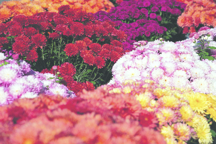 Close up of a variety of mums.