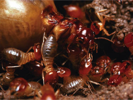 Phoenix Exterminating, Removal, Insects, Peoria, AZ rodent control, termite inspection  pest control services