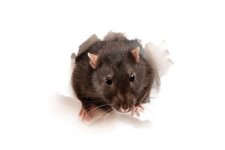 mice control services in ny