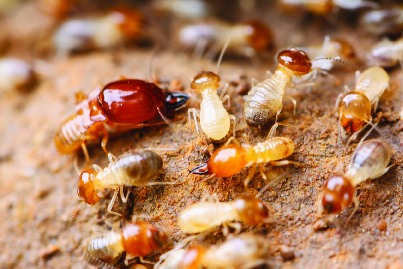 Pesky termites can do extraordinary damage to your CA home