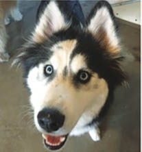 happy malamute dog breed; cage-free boarding and daycare; Los Angeles CA