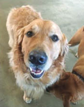 happy golden retriever at Paw-Some Dog doggie daycare in Los Angeles.