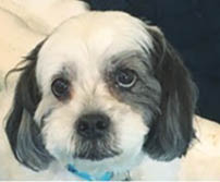 cute shihtzu at Paw-Some Dog open area doggie daycare and boarding facility for pets.