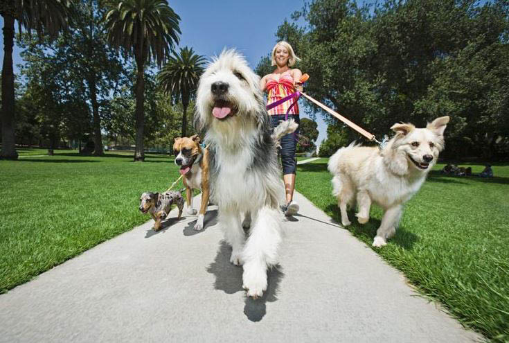 Dog walker walking several dogs at once