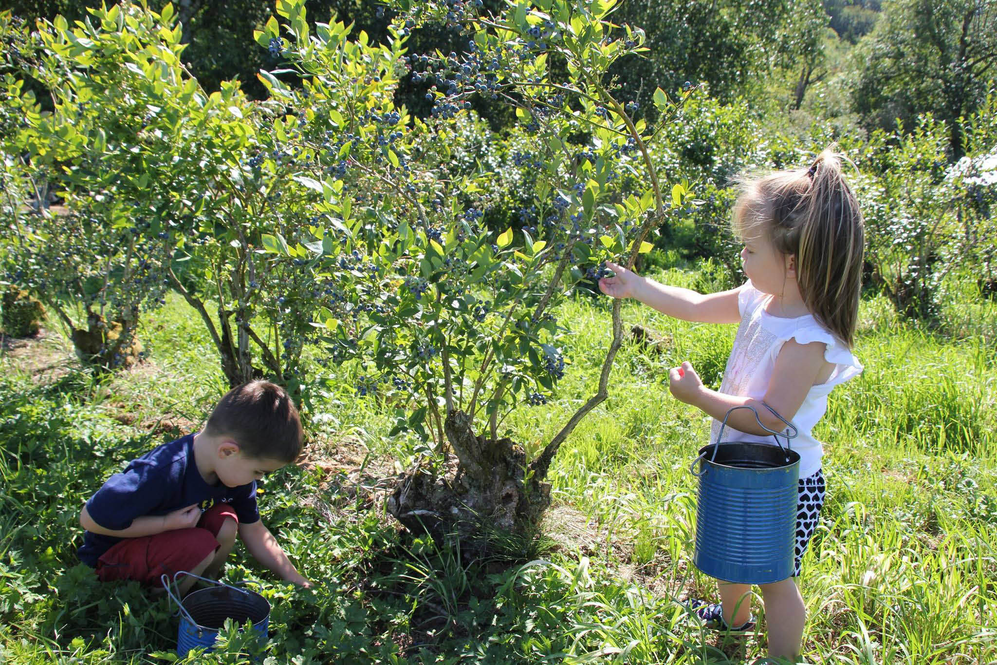 Picking blueberries at Mountainview Blueberry Farm in Snohomish, WA