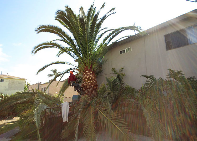 Get trimming and pruning service for palm trees