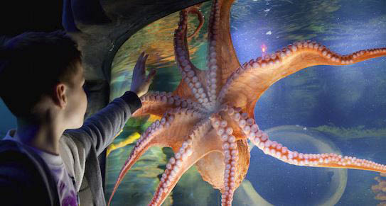 photo of child looking at octopus at Sea Life Michigan Aquarium at Great Lakes Crossing Outlets in Auburn Hills, MI